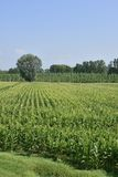 Maize field and poplars, Polesine Parmense Royalty Free Stock Photos