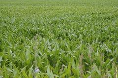 Maize Stock Photos