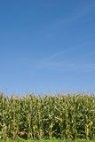 Maize field under blue sky Royalty Free Stock Photo