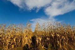 Maize field under blue sky Stock Photography