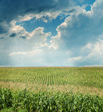 Maize field under dramatic sky Royalty Free Stock Photography