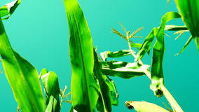Maize field with unripe cob  in august, wind, light rotation, low angle shot. Maize field with unripe cob  in august, wind, light rotation, end of summer stock footage