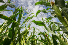 Maize field Stock Photography