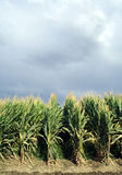 Maize Field Verticle Stock Images