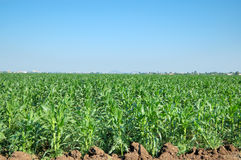 Maize fields. Picture of maize fields and the blue sky Stock Images