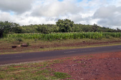 Maize fields in Tanzania. On a cloudy day Stock Photo