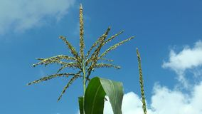 A maize flower stock video footage