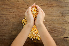 Maize grain in hand. Royalty Free Stock Image