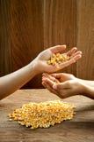 Maize grain in hand. Stock Photo