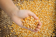 Maize grain in hand. Stock Photography