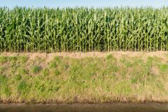 Maize growing at the edge of a field adjacent to a ditch with wa. Maize plants growing at the edge of a field next to a ditch with a reflecting water surface. It Royalty Free Stock Photography