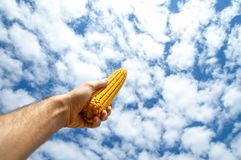 Maize in hand Royalty Free Stock Images