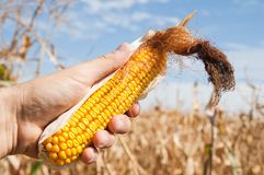 Maize in hand Royalty Free Stock Image