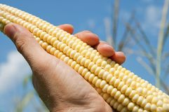 Maize in hand Stock Image