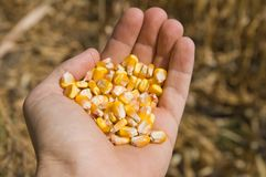 Maize in hand Royalty Free Stock Photography