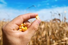 Maize in hand Stock Photography