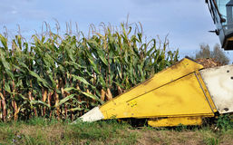 Maize harvest Royalty Free Stock Images