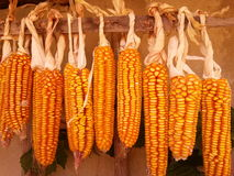 Maize Royalty Free Stock Images