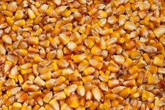 Maize kernels. Zea mais corn kernels texture Royalty Free Stock Image