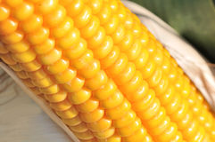 Maize kernels Stock Image