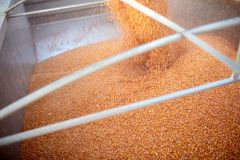 Maize kernels pouring into a trailer or truck Stock Image