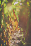 Maize leaf - corn field Royalty Free Stock Image