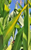 Maize leaves Royalty Free Stock Photo
