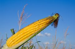 Maize over field Royalty Free Stock Photo