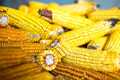 Maize pile drying Stock Images