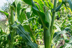 Maize plant. Corn growing in a field in summer Stock Photos