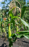 Maize plant. Corn growing in a field in summer Stock Photo