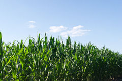 Maize plant. Fast growing maize plants in the clouds Stock Photography