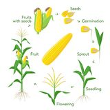 Maize plant growth infographic elements from seeds to fruits, mature corn ears. Seedling, germination, planting. Flowering. Vector encyclopedic illustration stock illustration