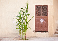 Maize plant. A maize plant gworing outside a house in Morocco Royalty Free Stock Image