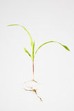 Maize plant seedling. Close up of whole corn plant with seed, roots, stem and leaf blades. Zea mays Stock Photo