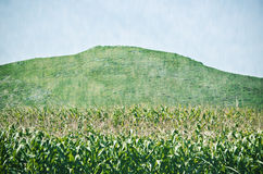 Maize plantation Royalty Free Stock Images