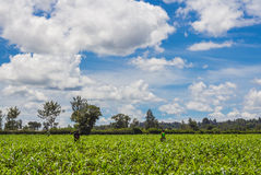 Maize Plantation Royalty Free Stock Photos