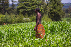 Maize Plantation Royalty Free Stock Photo