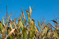 Maize plants Royalty Free Stock Image