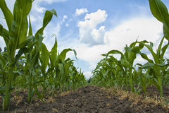 Maize Plants Stock Image