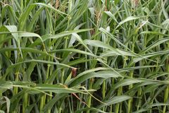 Maize Plants Royalty Free Stock Photography