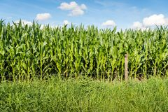 Maize plants growing behind a fence with barbed wire. Fodder maize plants growing behind a fence with barbed wire in the Netherlands. It is a sunny day in the Stock Photo