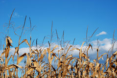 Maize plants Stock Image