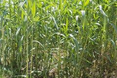 Maize plants. Royalty Free Stock Photos