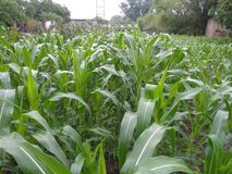 Very nice maize plants in rural areas. Maize plants in rural areas looks so beautiful during morning time royalty free stock image