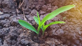 Maize plants are still young, around 10 days old. Corn is a plant with high carbohydrate content as an alternative food ingredient stock photos