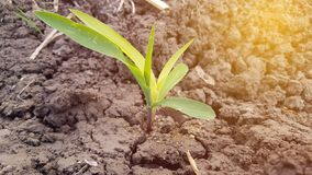 Maize plants are still young, around 10 days old. Corn is a plant with high carbohydrate content as an alternative food ingredient royalty free stock photos