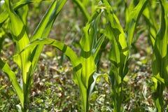 Maize Plants Stock Images