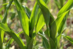 Maize Plants Royalty Free Stock Images