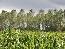 Maize and poplar landscape. Impression of the ' coulisse'  landscape type, a mix of pastures, forest, food production land and green separators Stock Image